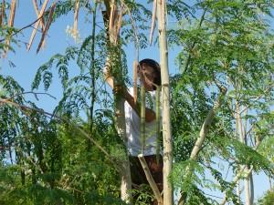 Moringa-Samenernte-Plan-Verde-e.V.