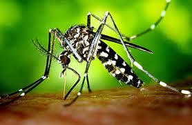 Tigermueke - Dengue - Neem - Plan Verdee.v.