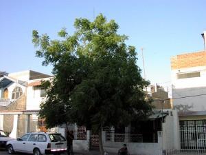 ersten-Neembaum-in-Piura--Plan-Verde-e.V.