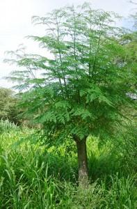 Moringa-die-Urkraft-der-Natur-Plan-Verde-e.V.