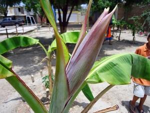Bananenbluete-Plan-Verde-e.v.