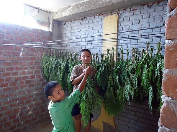 Die Erste Moringa Ernte Plan Verde