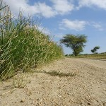 dichte-vetiver-pflanzung-Plan-Verde-e.V.