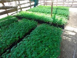 2000-Moringa-fuer-Tambogrande---Plan-Verde-e.V.