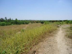 Moringa-Campo-Tambogrande---Plan-Verde-e.V.