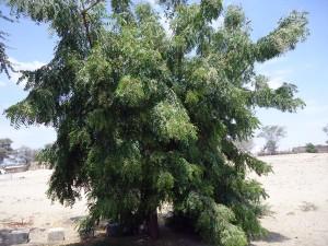 Neem-Baum-3-Jahre-volle-Bluete-Plan-Verde-e.V.