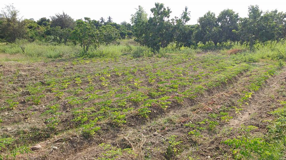 Moringa Tambo Grande 2 Plan Verde e. V.