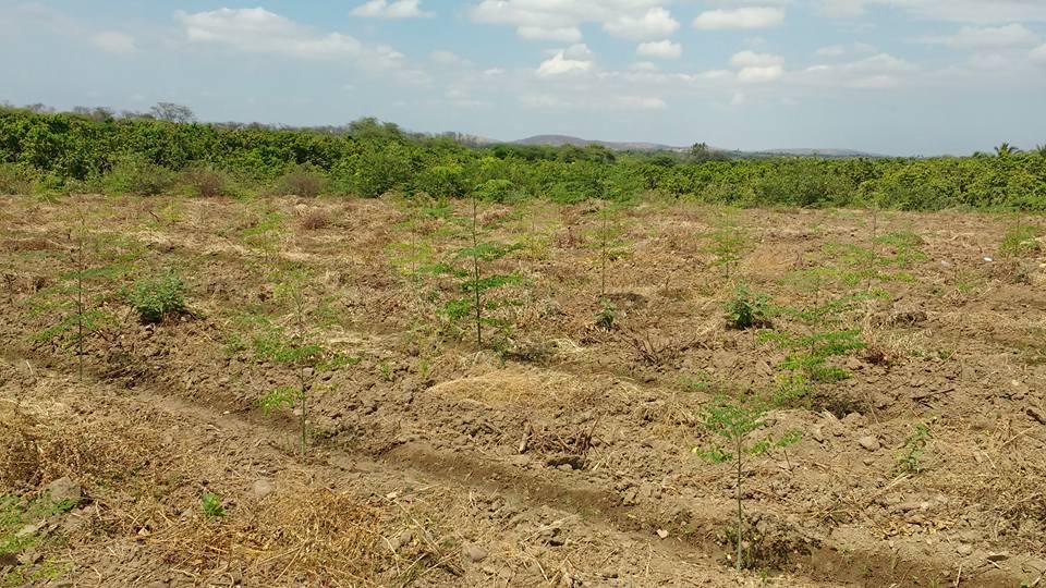 Moringa Tambo Grande Plan Verde e.V.