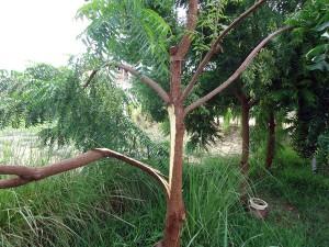 Ast-gebrochen-Neem-Baum-Plan-Verde-e.V.