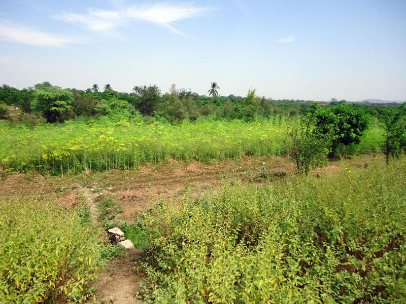Moringa-Tambo-Grande-Plan-Verde