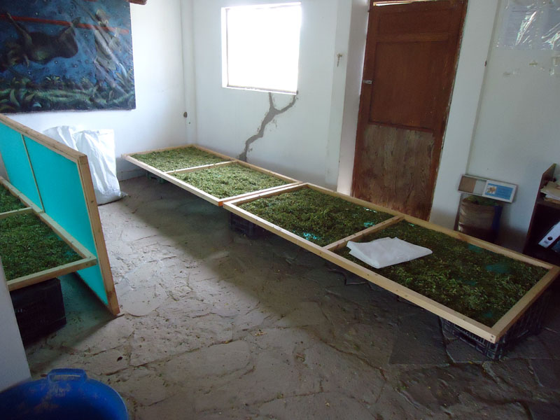 Moringa-Trocknung-Plan-Verde