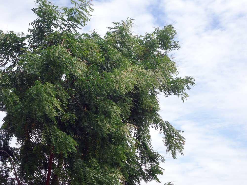 Neembluete-im-Juli-Plan-Verde-e.V.