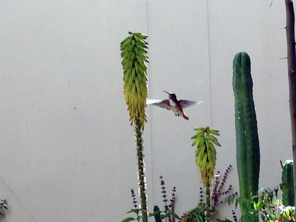 kolibri-trochilidae-3-plan-verde-e-v