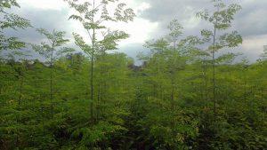 moringafeld-in-tambo-grande-plan-verde-e-v